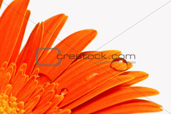 orange flower with water drops close-up
