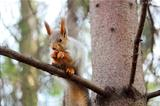 squirrel on a branch of pine