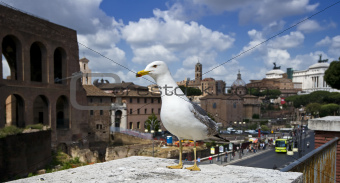 Pigeon in Rome