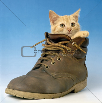 cat in a shoe