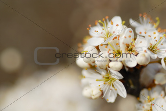 Macro Image of White Blossom.