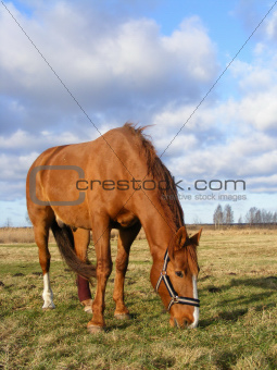 Chestnut horse with injured leg