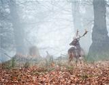 Fallow deer in foggy Winter forest landscape