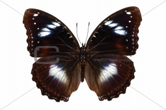 """Butterfly species Hypolimnas bolina """"Great Eggfly"""""""