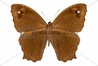 "Butterfly species Melanitis leda ""Common Evening Brown"""