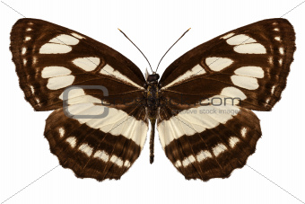 """Butterfly species Neptis hylas """"Common Sailer"""""""