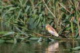 Squacco Heron (Ardeola ralloides)