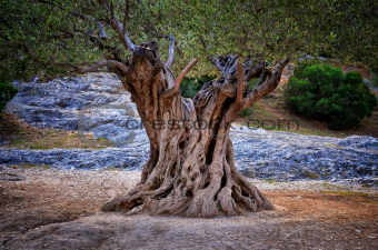 Old olive tree trunk, roots and branches