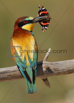 Merops apiaster bee-eater with a butterfly