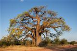 African baobab tree