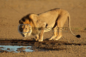 African lion drinking
