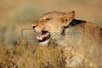 Aggressive lioness