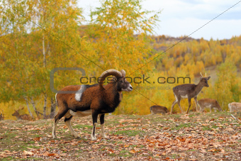 mouflon male and fallow deers