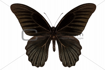 "Butterfly species papilio memnon memnon""Great Mormon"""