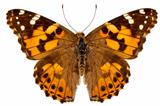 """Butterfly species Vanessa cardui """"Painted Lady"""""""