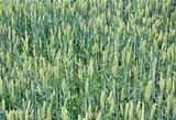 Wheat field (Triticum aestivum)