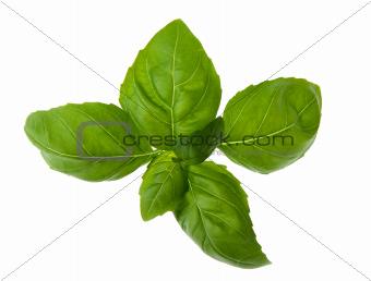 Fresh and aroma basil