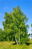birch with a brightly green leaf on a background clean sky