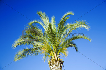 single tropical palm on a background clear blue sky