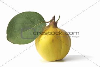 Quince (Cydonia oblonga)