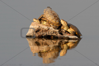 Helmeted terrapins