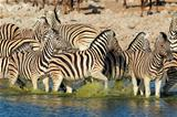 Plains Zebras in water