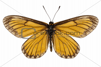 """Butterfly species Acraea issoria """"Yellow Coster"""""""
