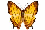 "Butterfly species Cyrestis lutea ""Orange Straight-line"""