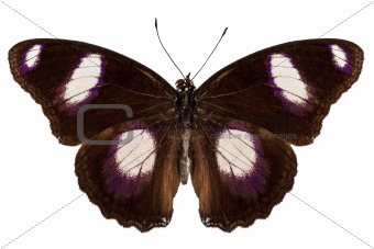 """Butterfly species Hypolimnas misippus male """"Danaid Eggfly"""""""