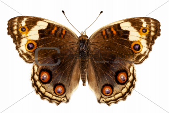 "Butterfly species Junonia orithya ""Eyed Pansy"""