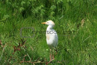Cattle Egret Standing