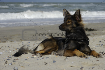 Dog on Dutch coast (Zeeland)