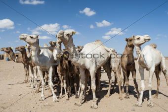 Dromedary camels at an African market