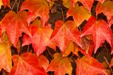 Climbing plants for walls in fall