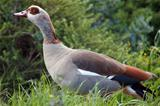 Egytian Goose