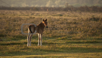 New Forest ponyfoal bathed in sunrise light in landscape with ba