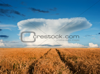 Golden wheat field under dramatic mushroom cloud