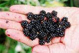 Blackberry in a hand
