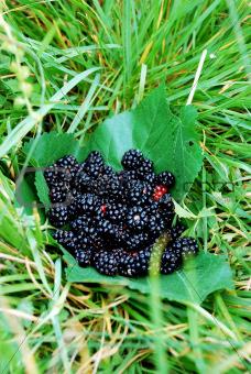 Blackberry fruit on leaves