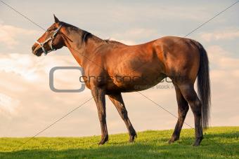 Pretty bay mare