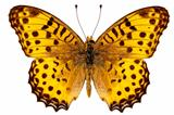 "Butterfly species Argynnis hyperbius ""Indian Fritillary"""