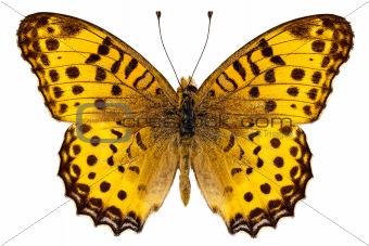 "Butterfly species Argynnis hyperbius ""Indian Fritillary"""