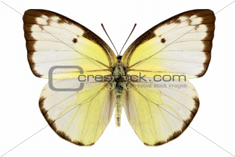 "Butterfly species Catopsilia pomona ""Lemon Emigrant"""