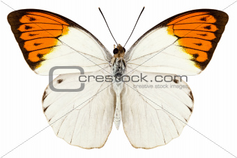 "Butterfly species Hebomoia glaucippe ""Great Orange Tip"""