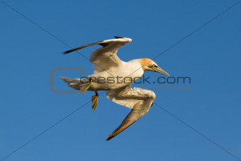 A gannet is flying