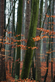 Hornbeam tree in forest.