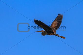 red heron (ardea purpurea)