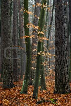 Hornbeam trees in forest.