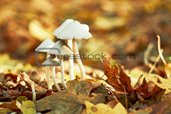Group of small white mushrooms
