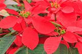 red poinsettia garden